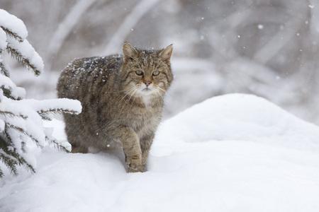 felid: Portrait of European Wildcat LANG_EVOIMAGES