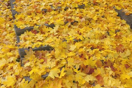 acer: Maple Leaves in Autumn, Nuremberg, Bavaria, Germany