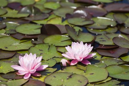 schloss schoenbrunn: Water Lilies in Garden, Schloss Schonbrunn, Vienna, Austria LANG_EVOIMAGES