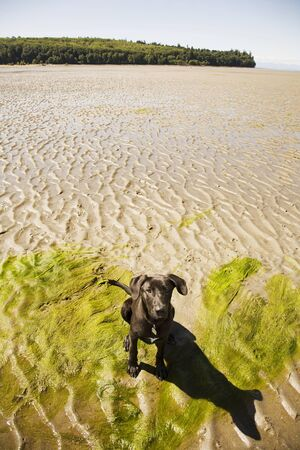 canid: Portrait of Labrador Retriever Cross Puppy at Beach at Low Tide