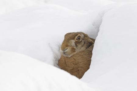 skepticism: European Brown Hare, Germany