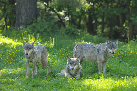 canid: Wolves in Meadow, Germany