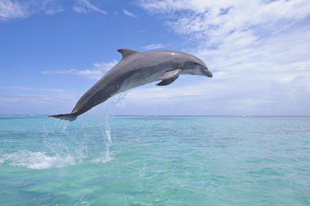 Common Bottlenose Dolphin Jumping in Air, Caribbean Sea, Roatan, Bay Islands, Honduras LANG_EVOIMAGES