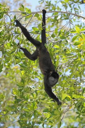 simian: Black Howler Monkey, Roatan, Bay Islands, Honduras