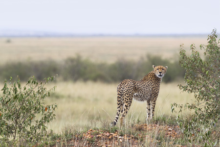 felid: Cheetah, Masai Mara National Reserve, Kenya