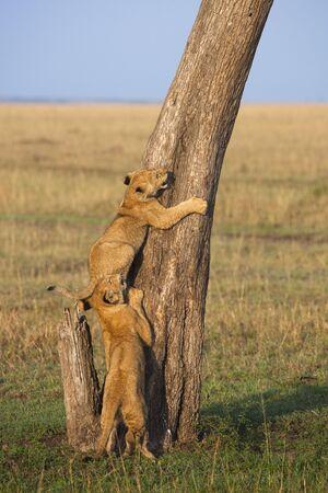 felid: Lion Cubs Climbing Tree, Masai Mara National Reserve, Kenya