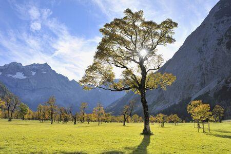 acer: Maple Tree in Autumn, Grosser Ahornboden, Karwendel, Eng, Tyrol, Austria LANG_EVOIMAGES