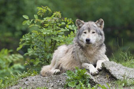 Timber Wolf in Game Reserve, Bavaria, Germany