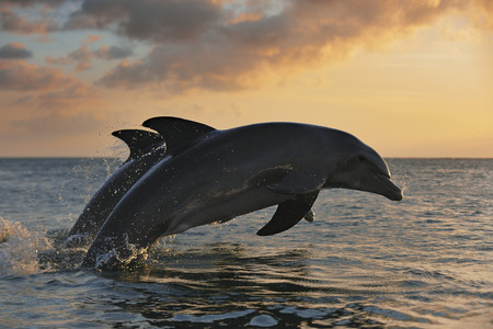 Common Bottlenose Dolphins Jumping in Sea at Sunset, Roatan, Bay Islands, Honduras LANG_EVOIMAGES