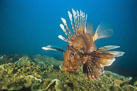 dragonfish: Lionfish, Madagascar