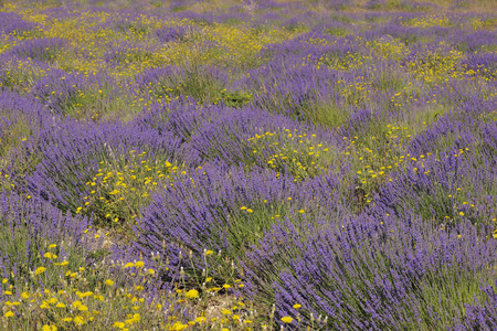 English Lavender Field with Yellow Flowers, Vaucluse, Alpes-de-Haute-Provence, Provence-Alpes-Cote d´Azur, Provence, France