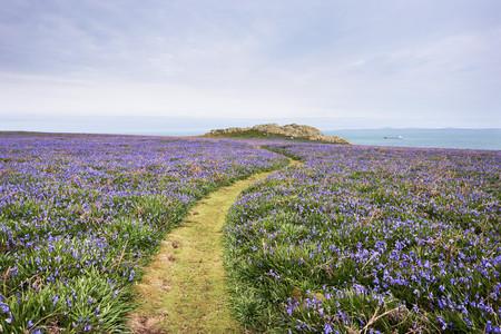 Footpath and Bluebells, Skomer Island, Pembrokeshire Coast National Park, Pembrokeshire, Wales
