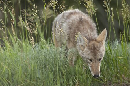 canid: Portrait of Coyote, Yellowstone National Park, Wyoming, USA