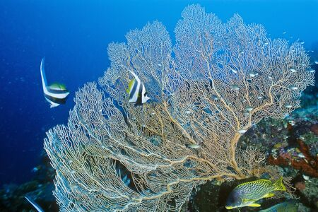 chaetodontidae: Coachman Fish, Sweetlips Fish and Fan Coral, Madagascar LANG_EVOIMAGES