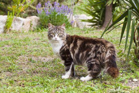 felid: Cat, Costa Smeralda, Sardinia, Italy