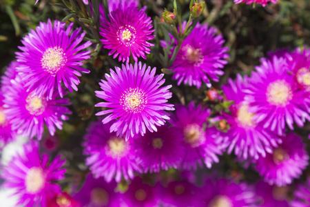 Ice Plant Flowers, Greece