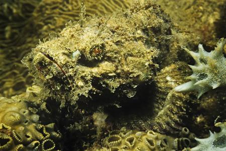 dragonfish: Stonefish on Coral, Madagascar