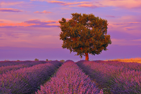 Tree in Lavender Field at Sunset, Valensole Plateau, Alpes-de-Haute-Provence, Provence-Alpes-Cote d´Azur, Provence, France LANG_EVOIMAGES