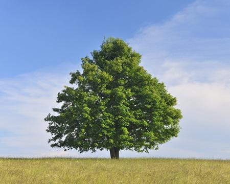 acer: Maple Tree Path, Allrode, Harz, Saxony-Anhalt, Germany LANG_EVOIMAGES