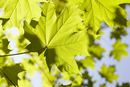 acer: Close-up of Leaves, Hamburg, Germany