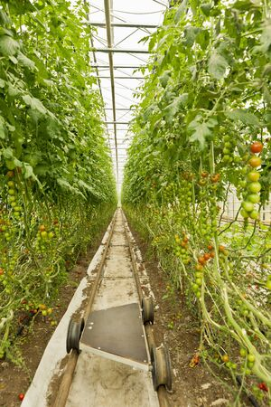 conservatories: Organic Cherry Tomatos in Greenhouse, Laugaras, South Iceland, Iceland LANG_EVOIMAGES