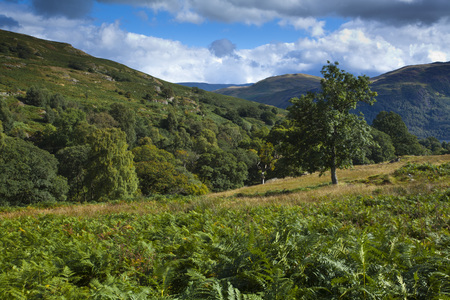 Ferns in Field,Lake District National Park,Cumbria,England