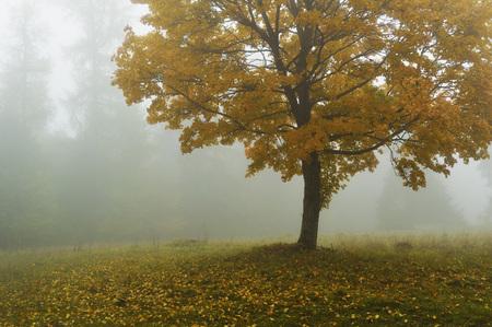 acer: Maple Tree in Morning Fog,Swabian Alb,Baden-Wurttemberg,Germany