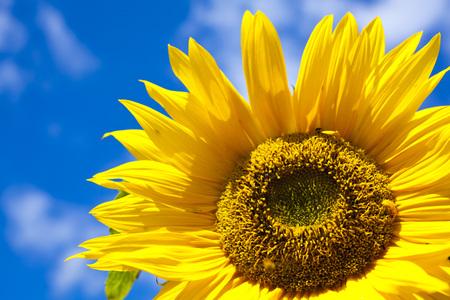 Sunflower,Shugborough Hall,Great Haywood,Staffordshire,West Midlands,England