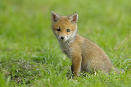 canid: Red Fox Kit,Hesse,Germany