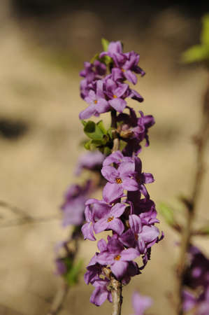 steiermark: Mezereon (Daphne mezereum) blossoms in a forest in early spring,Steiermark,Austria LANG_EVOIMAGES