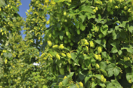 common hop: Hop Cones,Humulus Lupulus,Baden-Wurttemberg,Germany