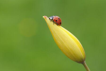 goodluck: Seven Spot Ladybird (Coccinella septempunctata) on flower,against green background. Bavaria,Germany