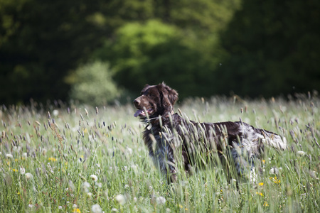 canid: Munsterlander Hunting Dog in a Field,Bergisches Land,North Rhine-Westphalia,Germany LANG_EVOIMAGES