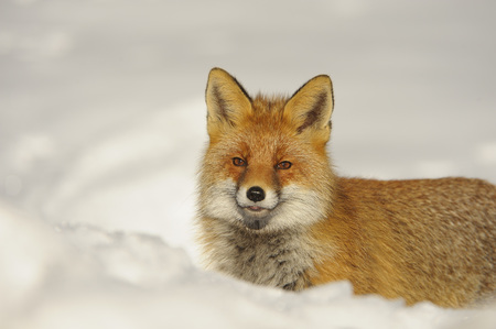 canid: Portrait of Red fox (Vulpes vulpes) in Winter,Gran Paradiso National Park,Graian Alps,Italy