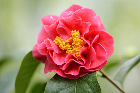 reticulata: Close-up of a blossom from a Camellia reticulata LANG_EVOIMAGES