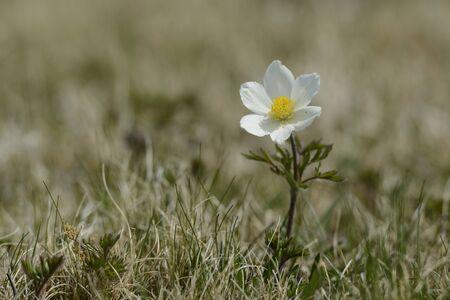 steiermark: Alpine Pasqueflower (Pulsatilla alpina) on Alpine Meadow in Spring,Styria,Austria