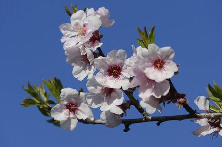 steiermark: Close-up of Cherry Plum (Prunus cerasifera) Blossoms in Spring,Styria,Austria