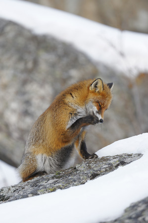 canid: Red Fox (Vulpes vulpes) in Winter,Gran Paradiso National Park,Graian Alps,Italy
