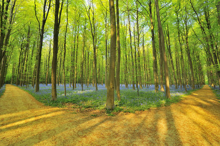 forked road: Forked Path through Beech Forest with Bluebells in Spring,Hallerbos,Halle,Flemish Brabant,Vlaams Gewest,Belgium
