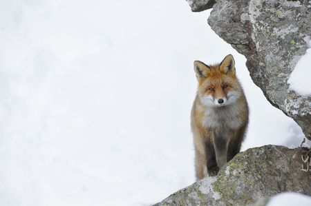 canid: Portrait of Red Fox (Vulpes vulpes) in Winter,Gran Paradiso National Park,Graian Alps,Italy LANG_EVOIMAGES