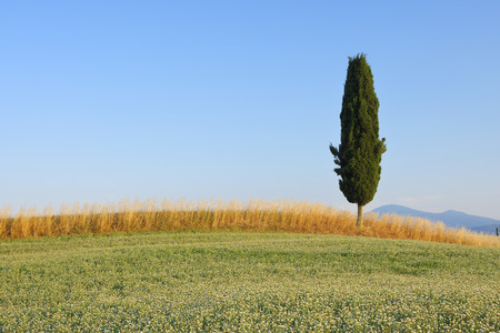 Clover and Wheat Fields with Mediterranean Cypress Tree (Cupressus sempervirens),Val dOrcia,Siena Province,Tuscany,Italy LANG_EVOIMAGES