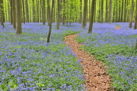 Path through Beech Forest with Bluebells in Spring,Hallerbos,Halle,Flemish Brabant,Vlaams Gewest,Belgium