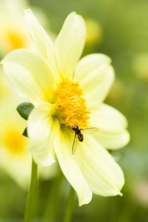 Close-up of Hoverfly (Syrphidae) on Dahlia,Germany