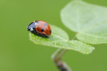 Seven Spot Ladybird (Coccinella septempunctata) on leaf,against green background. Bavaria,Germany