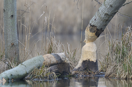 chewed: Tree Trunk that has been Gnawed by European Beaver (Castor fiber),Hesse,Germany