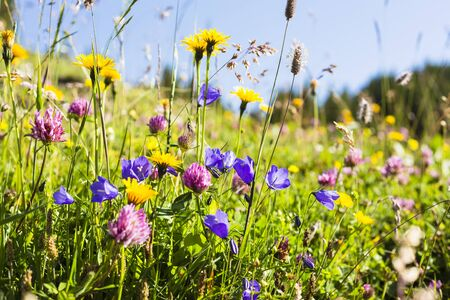 red clover: Bellflower (Campanula), Red Clover (Trifolium pratense) and Arnica in Meadow, Grindwlwald, Canton of Bern, Switzerland LANG_EVOIMAGES