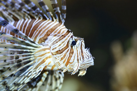 dragonfish: Portrait of Red Lionfish (Pterois volitans), Bavaria, Germany