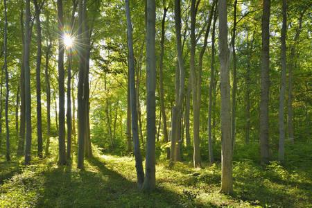 Coastal Beech Forest with Sun, Nienhagen, Bad Doberan, Baltic Sea, Western Pomerania, Germany