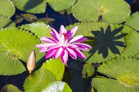 nymphaeaceae: Close-up of pink water lily flower, Las Terrenas, Samana Peninsula, Dominican Republic, Caribbean