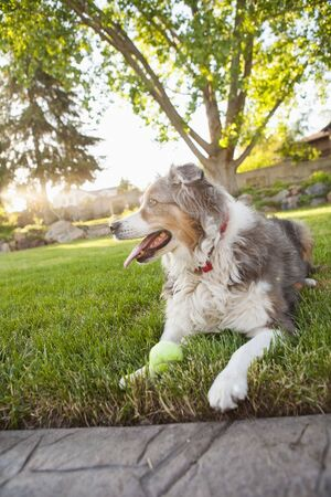canid: Australian Shepherd Dog in Backyard with Tennis Ball, Utah, USA LANG_EVOIMAGES